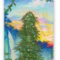 Maui Kola Fine Art Reproduction on Rolled Canvas or Archival Paper