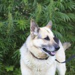 Hemp Based CBD Treats for your Dog